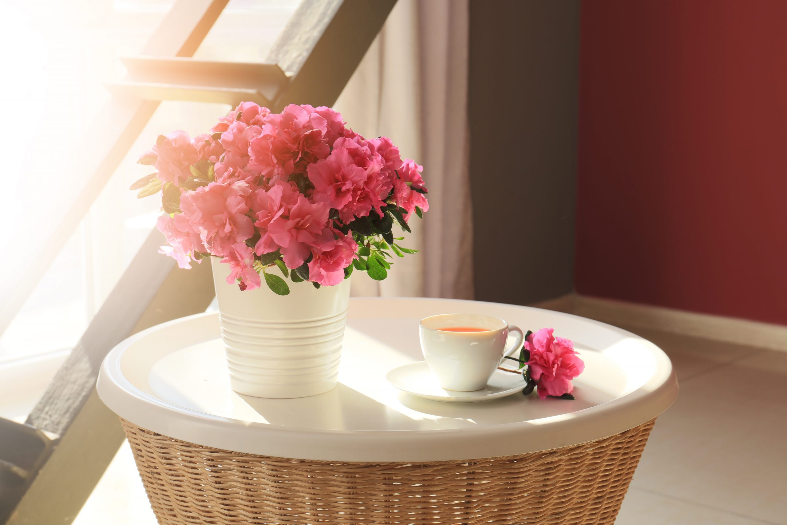 Pot,With,Beautiful,Blooming,Azalea,And,Cup,Of,Tea,On